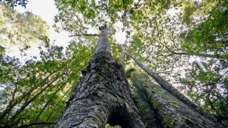 Giant Outeniqua Yellowwoods, Garden Route National Park